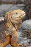 鬣鳞蜥微笑 库存图片