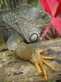 鬣鳞蜥毛里求斯 免版税库存图片