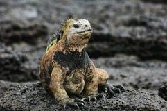 鬣鳞蜥海军陆战队员 图库摄影