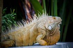 鬣鳞蜥照片特写镜头画象大绿色 图库摄影