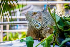 鬣鳞蜥照片特写镜头画象大绿色 免版税库存图片