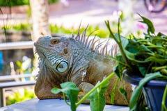 鬣鳞蜥照片特写镜头画象大绿色 库存图片