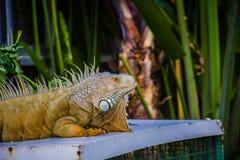 鬣鳞蜥照片特写镜头画象大绿色 免版税库存照片