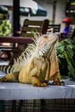 鬣鳞蜥照片特写镜头画象大绿色 免版税图库摄影