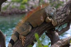 鬣鳞蜥爬行动物 库存照片