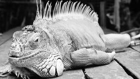 鬣鳞蜥爬行动物 免版税图库摄影