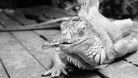 鬣鳞蜥爬行动物 图库摄影