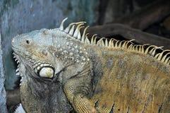 鬣鳞蜥爱 免版税库存照片