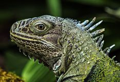 鬣鳞蜥特写镜头画象,被弄脏的背景 图库摄影