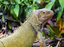 鬣鳞蜥特写镜头画象,被弄脏的背景 免版税图库摄影