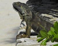 鬣鳞蜥的国王 图库摄影