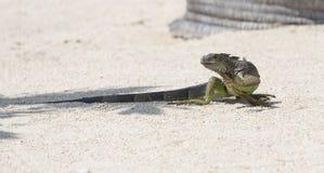鬣鳞蜥的天 免版税图库摄影
