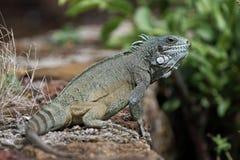 鬣鳞蜥的特写镜头 免版税库存照片