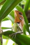 鬣鳞蜥的王子 图库摄影