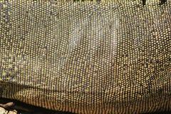 鬣鳞蜥皮肤 免版税图库摄影
