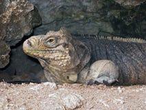 鬣鳞蜥穴 库存图片