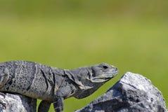 鬣鳞蜥符合理想的岩石 库存图片