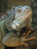 鬣鳞蜥纵向 库存图片