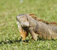 鬣鳞蜥纵向 免版税图库摄影