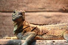 鬣鳞蜥纵向 免版税库存图片