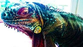 鬣鳞蜥蜥蜴,老和明智 免版税库存图片
