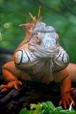 鬣鳞蜥蜥蜴 免版税图库摄影