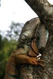 鬣鳞蜥配置文件 免版税库存图片