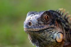 鬣鳞蜥,动物,宏指令, bokeh,昆虫,自然, 免版税图库摄影