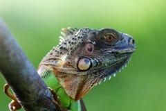 鬣鳞蜥,动物,爬行动物,关闭,野生生物,自然, 免版税库存照片