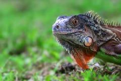 鬣鳞蜥,动物,爬行动物,关闭,野生生物,自然, 库存照片