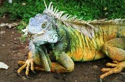 鬣鳞蜥,瓜亚基尔,厄瓜多尔 免版税图库摄影