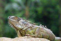 鬣鳞蜥,蜥蜴的一个濒于灭绝的物种 绿色鬣鳞蜥纵向 免版税库存照片