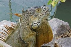 鬣鳞蜥头的特写镜头 免版税库存照片