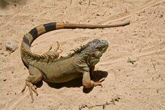 鬣鳞蜥 库存图片
