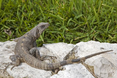 鬣鳞蜥 库存照片