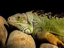 鬣鳞蜥 免版税库存图片