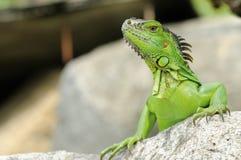 鬣鳞蜥- Iguane 库存照片