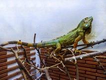 鬣鳞蜥Lizzard 免版税库存图片