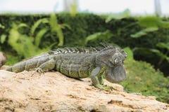 鬣鳞蜥verde 免版税库存图片