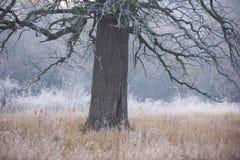鬼看和老橡树在没有叶子的冬天,仅可看见的通过大雾 免版税图库摄影