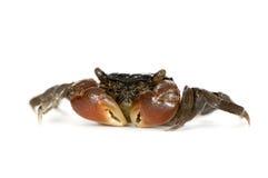 鬼针草属抓的螃蟹perisesarma红色 免版税库存照片