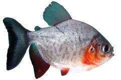鬼针草属colossoma鱼paku比拉鱼红色 库存照片