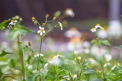 鬼针草属pilosa是一棵每两年植物 哪些作为背景 库存图片