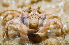 鬼魂捉蟹(Ocypode quadrata) 图库摄影
