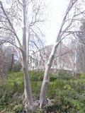 鬼魂树 库存照片