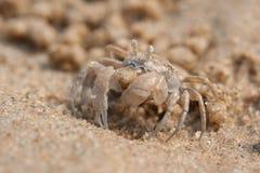 鬼魂螃蟹在海滩 免版税库存照片