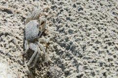 鬼魂螃蟹 图库摄影