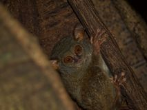 鬼tarsier在无花果树 免版税库存图片