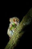 鬼Tarsier, Tarsius光谱,罕见的夜的动物画象与抓住杀害绿色蚂蚱的,在大榕属树, 免版税库存照片