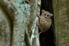 鬼Tarsier, Tarsius光谱画象,从Tangkoko国家公园,苏拉威西岛,印度尼西亚,大榕属树的 图库摄影